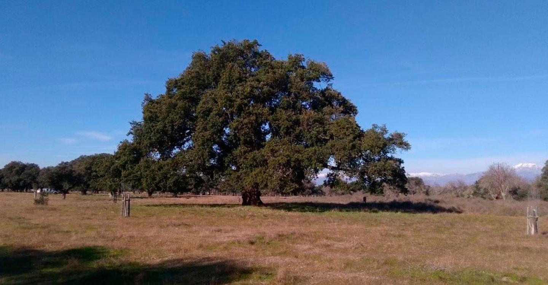 El Gobierno de Castilla-La Mancha declara la carrasca Ruli y el alcornoque del Dehesón del Encinar como nuevos árboles singulares en la región