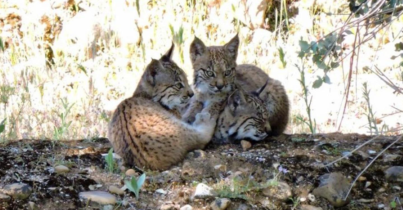 Castilla-La Mancha cuenta, al menos, con 16 nuevas crías de lince ibérico nacidas en libertad en las dos áreas de reintroducción de la región