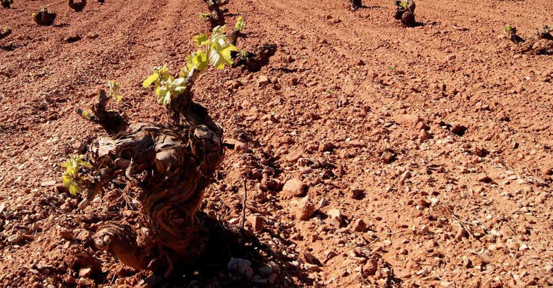 Todos los nuevos jóvenes viticultores de Castilla-La Mancha que han solicitado superficie de viñedo por primera vez recibirán el 100 por cien de la misma