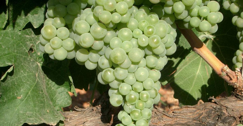 Castilla-La Mancha pone a disposición de los viticultores una nueva convocatoria de ayudas a la reestructuración del viñedo abierta hasta el 28 de febrero