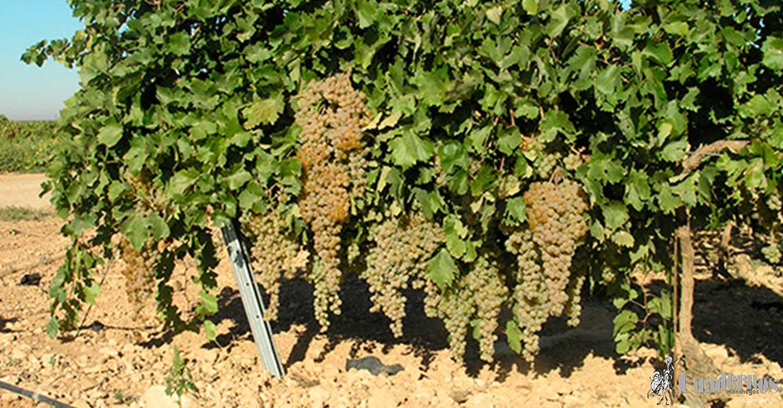 ASAJA CLM anima a la participación  en las movilizaciones que se convoquen en protesta por los precios de la uva que no cubren los costes de producción