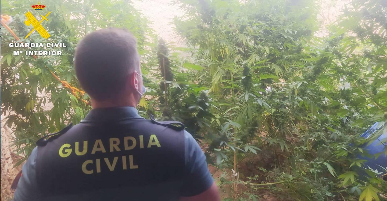La Guardia Civil investiga a un vecino de Caudete por cultivar cannabis sativa en un corral de su propiedad
