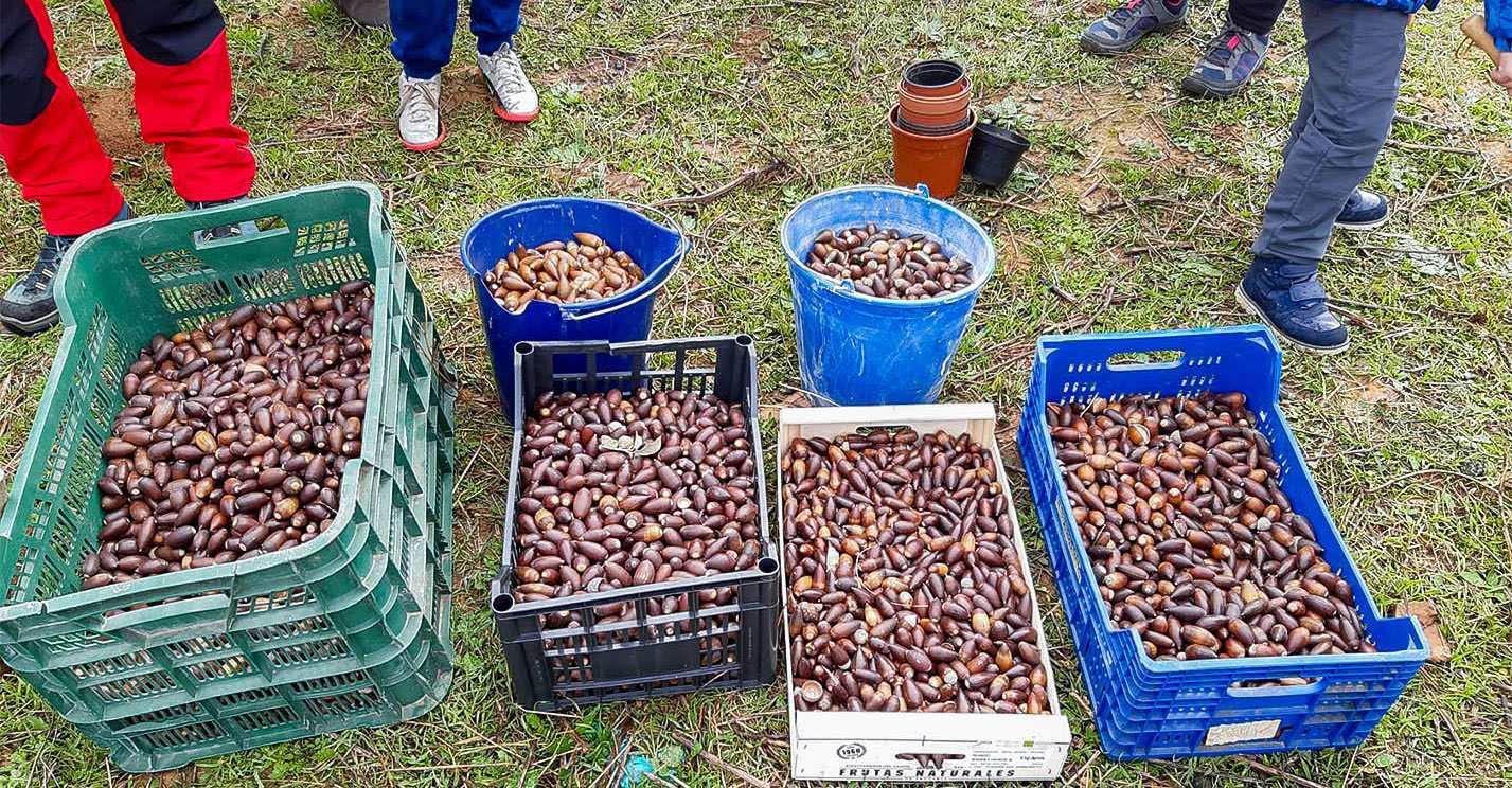 Unas 8.000 bellotas torteñas, entre las más de 1,2 millones plantadas ya en 'La gran bellotada ibérica'