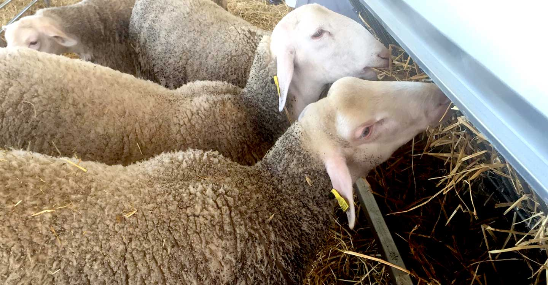 ASAJA Ciudad Real pide ayudas para alimentar al ganado ante la falta de pastos y los altos costes de los piensos