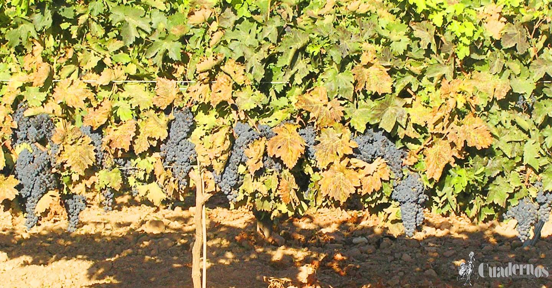ASAJA Ciudad Real traslada un mensaje de tranquilidad a los viticultores de la DO Valdepeñas