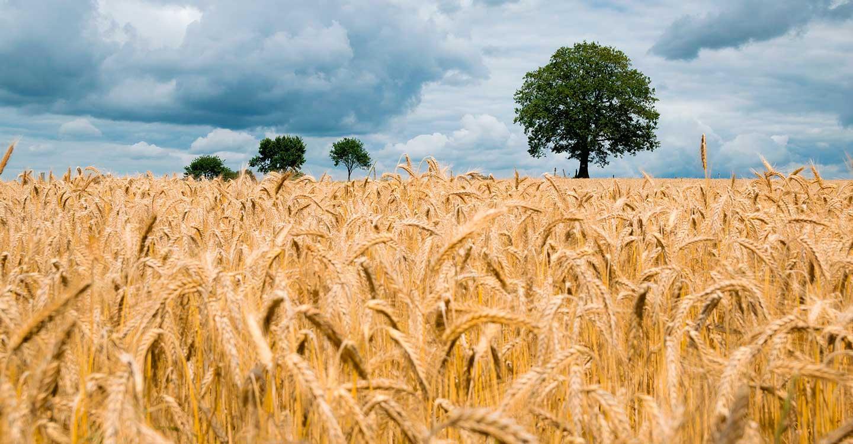 ASAJA Ciudad Real vaticina una campaña de cereales media, inferior a la del año 2020