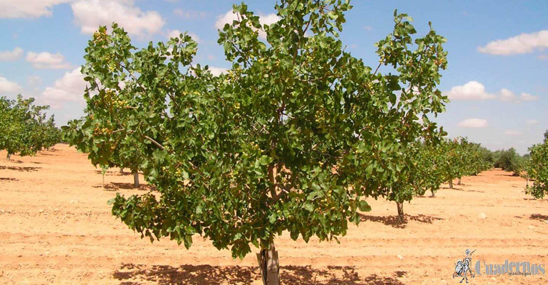 ASAJA Ciudad Real pide más vigilancia y controles ante los robos en explotaciones de pistacho en la comarca de La Mancha