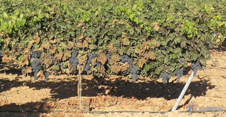 ASAJA Socuéllamos marca los precios mínimos a los que se debería pagar la uva esta vendimia