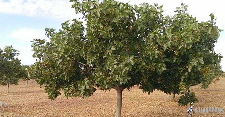 Castilla-La Mancha trabaja para valorizar el cultivo del pistacho y aboga por su transformación en la región para generar riqueza en el medio rural