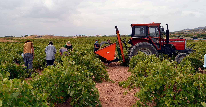 La Cooperativa El Progreso tiene previsto recoger unos 85 millones de kilos esta vendimia, que terminará la próxima semana