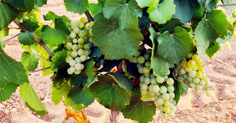 El Progreso de Villarrubia de los Ojos comienza esta semana a vendimiar, cosecha que prevé un 15 % inferior