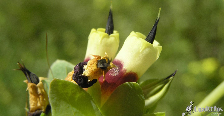 Flora de las Lagunas de Ruidera: Plantas herbáceas de monte