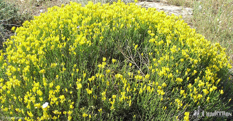 Flora de las Lagunas de Ruidera: Plantas de Monte