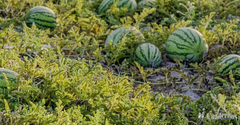 La Interprofesional recuerda que La Mancha puede surtir al mercado de melón y sandía con una calidad excelente hasta mediados de octubre