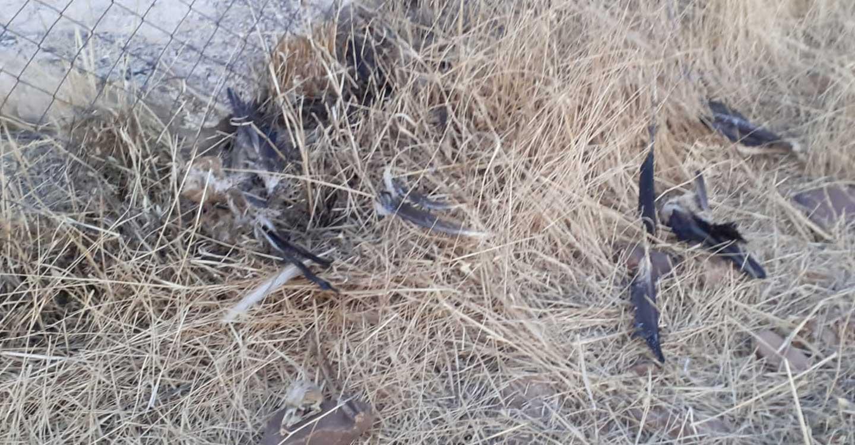 El Área de Medio Ambiente de IU Valdepeñas denuncia la muerte de varias aves protegidas por líneas conductoras de electricidad con un mal mantenimiento.