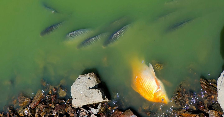 Mortandad de peces en el embalse del Vicario