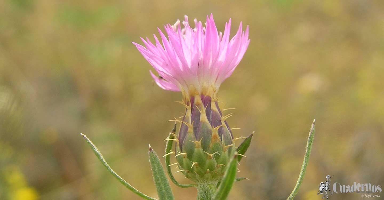 Flora de las Lagunas de Ruidera: Plantas herbáceas de monte (2)