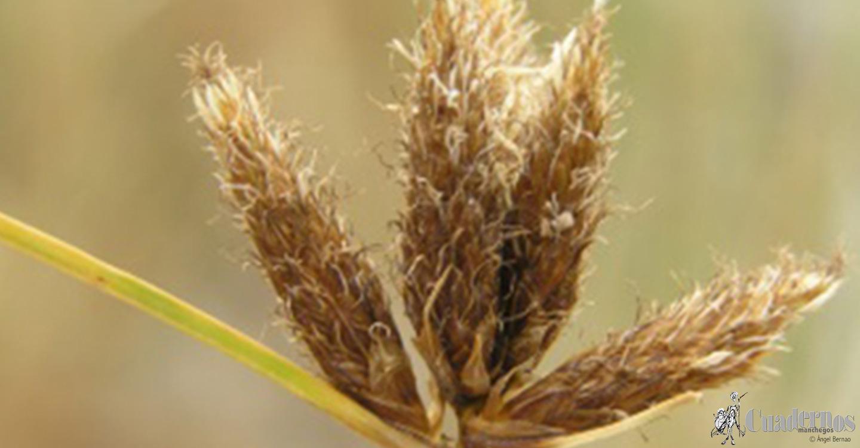 Flora de las Lagunas de Ruidera: Plantas lacustres