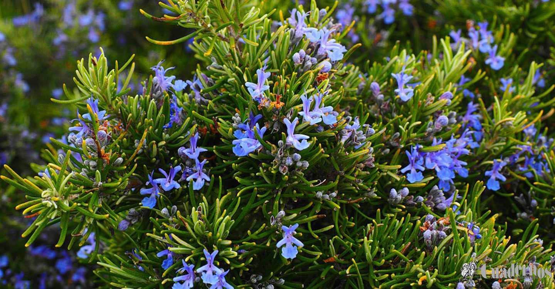 Flora de las Lagunas de Ruidera: Plantas herbáceas o semi herbáceas de Monte (Labiadas)