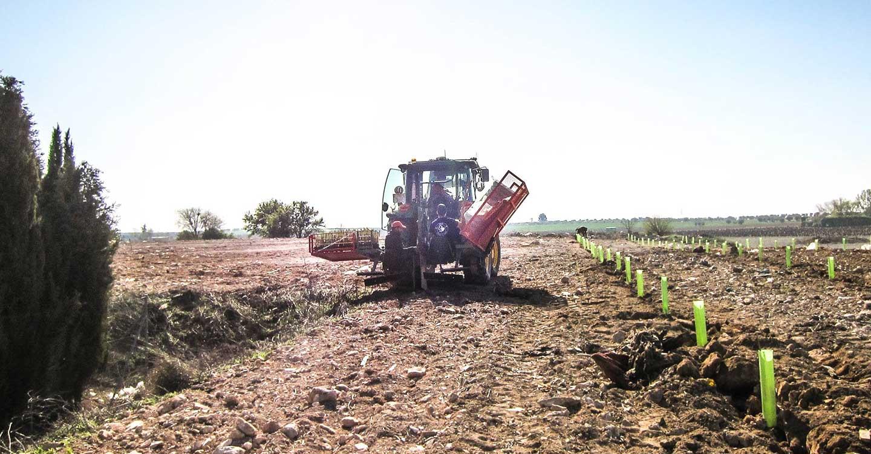 La reforestación del vertedero sellado comienza con la plantación de 800 pinos piñoneros