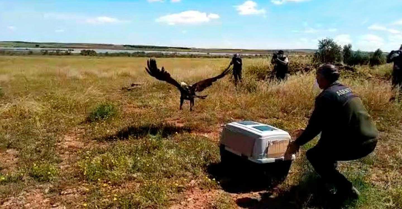 """Técnicos de Desarrollo Sostenible comprueban la plena reintegración al medio natural de un águila imperial ibérica recuperada en """"El Chaparrillo"""""""