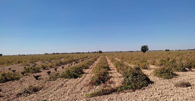 Termina la vendimia en Pedro Muñoz, con una cosecha aceptable a pesar de las circunstancias vividas
