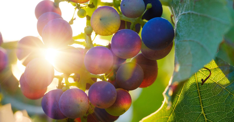 La Cooperativa Tierra de Calatrava de Miguelturra garantiza la recogida de uva de sus socios