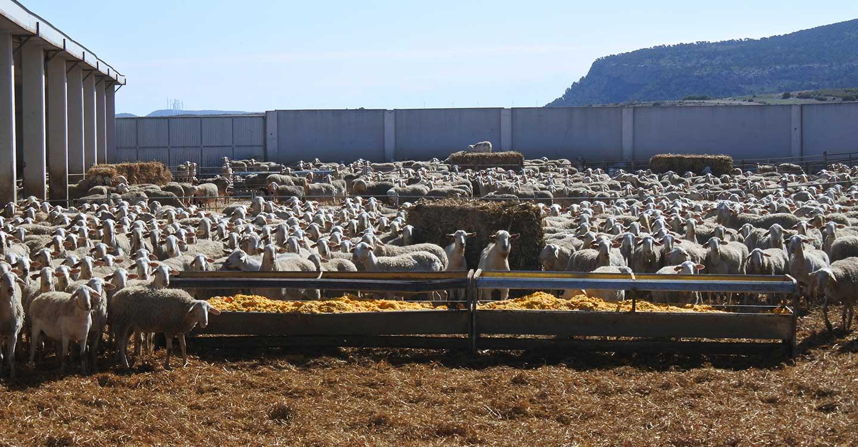 Un total de 1.277 ganaderos de Ciudad Real han recibido cerca de 5,6 millones de euros de las ayudas acopladas de ovino de la PAC