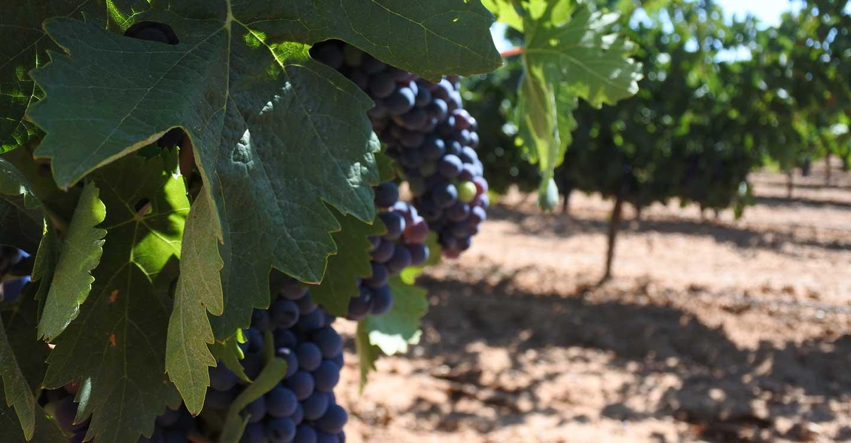 Un total de 32 viticultores de Ciudad Real reciben mañana el pago de reestructuración del viñedo por más 360.000 de euros