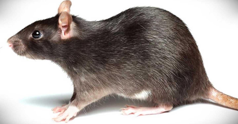 Una rata en la cama