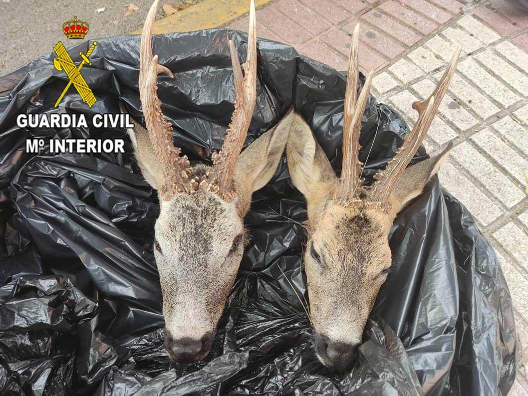 La Guardia Civil denuncia a una persona por transportar dos cabezas de corzo en un vehículo en la localidad de Azuqueca de Henares