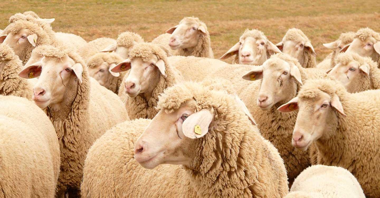 Unión de Uniones considera muy pobre la ayuda del Ministerio para ovino-caprino por COVID 19