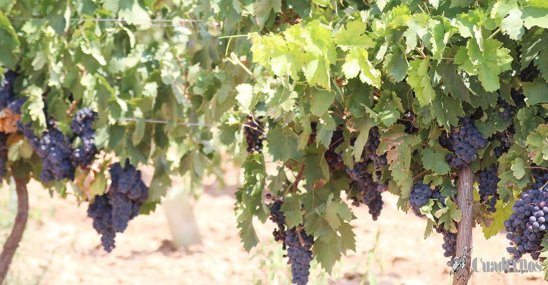Unión de Uniones pide medidas para paliar los desequilibrios que se están dando en el sector vitivinícola por un precio de la uva injustificadamente bajo