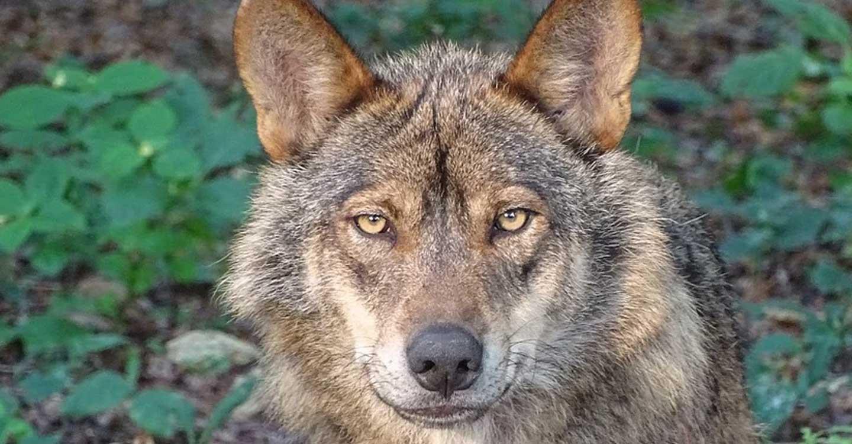 Unión de Uniones traslada su negativa al Ministerio sobre la inclusión del lobo en el LESPRE por falta de rigor y consenso