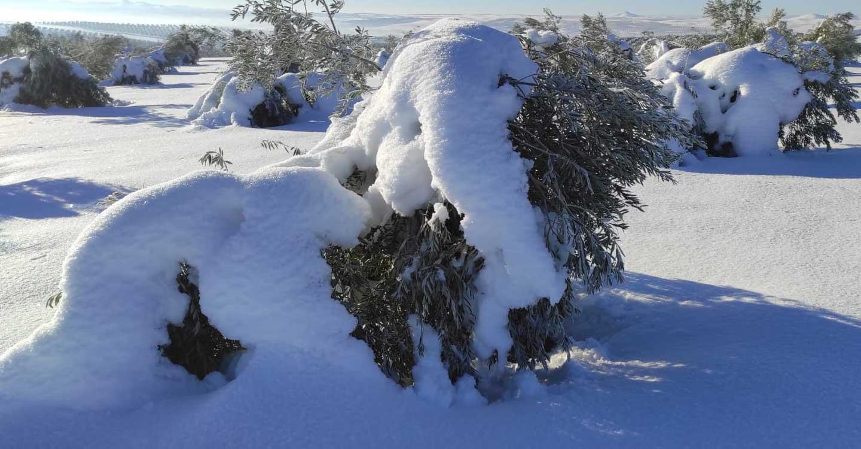 Unión de Uniones destaca el daño a la ganadería y el olivar en varias CC.AA tras el paso de Filomena