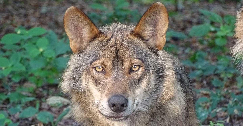 Unión de Uniones insiste en paralizar la inclusión del lobo en el LESPRE hasta encontrar un consenso con el sector ganadero
