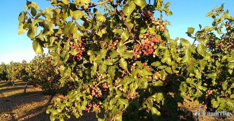 En los últimos cinco años, más de 2.200 agricultores se han formado en la poda del pistachero, un cultivo en el que Castilla-La Mancha es líder nacional
