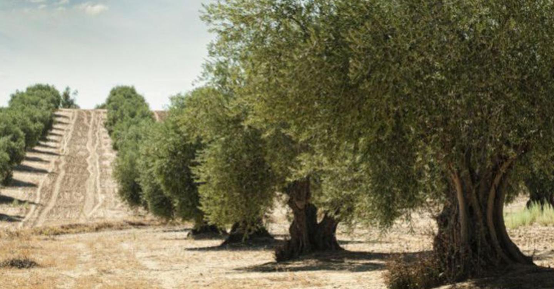 UPA denuncia una vez más que solo los precios justos salvarán al olivar castellano-manchego