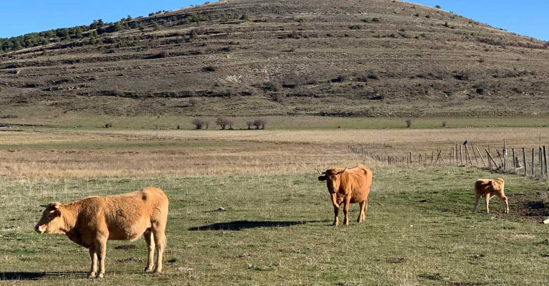 Se adelanta la publicación de las ayudas para ganaderos de extensivo en la región para paliar los posibles daños por ataques de buitre o lobo