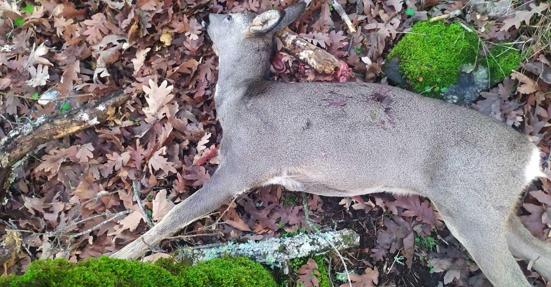 Los agentes medioambientales actúan tras la denuncia de Ecologistas en Acción por la caza ilegal de una corza durante una montería.