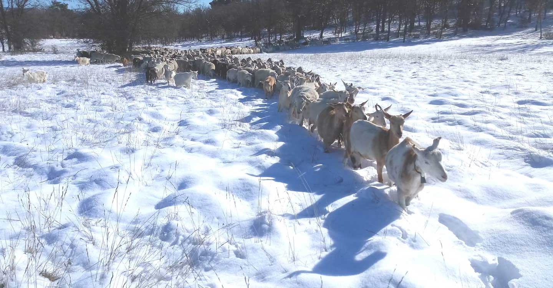ASAJA CLM alerta de las graves repercusiones que el temporal tendrá para la ganadería extensiva