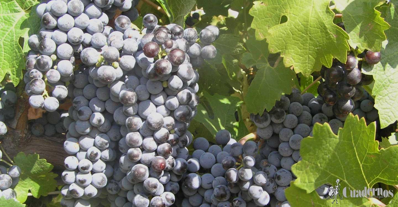 ASAJA CLM asegura que la ola de calor está condicionando las producciones de viñedo y modifican a la baja las previsiones de cosecha