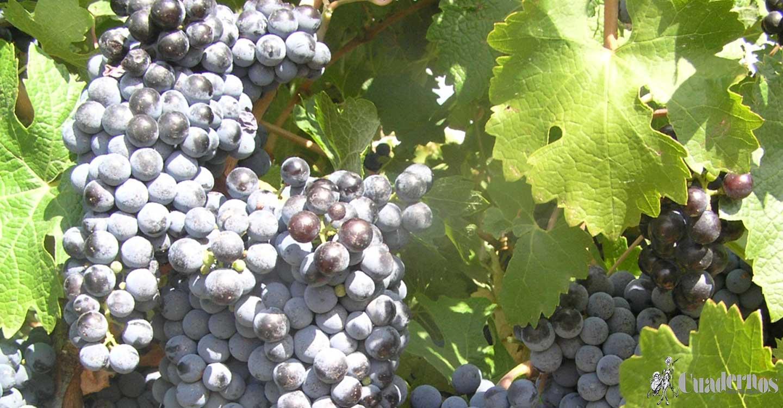 ASAJA CLM estima un 20% menos de producción para la campaña vitivinícola 2021/2022