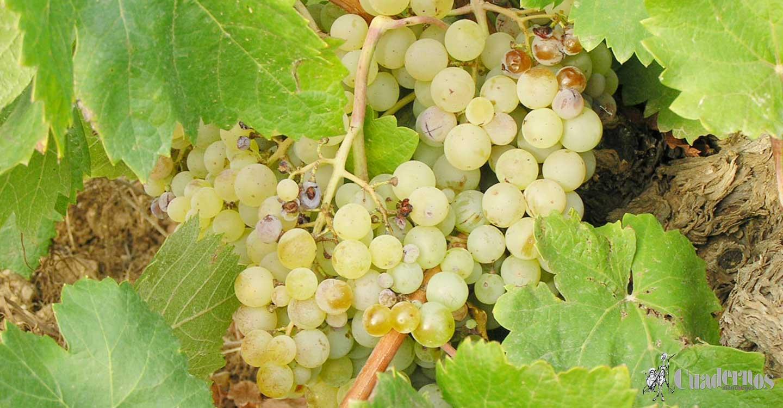 ASAJA CLM exige que los precios de la uva contemplen los costes de producción para que los viticultores dejen de perder dinero