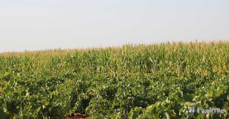 ASAJA Castilla-La Mancha urge revisar la eficacia de los seguros agrarios