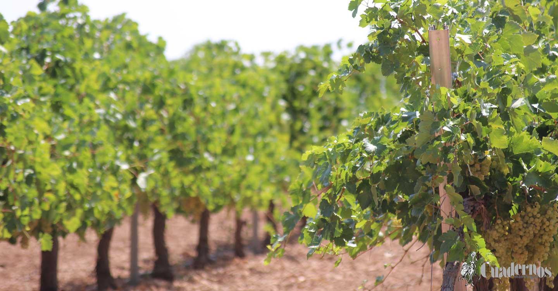 ASAJA CLM denuncia que la industria incumple la Ley de la Cadena Alimentaria con unos precios de la uva que no cubren gastos de producción