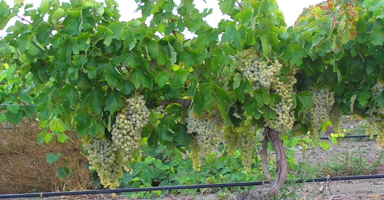 Castilla-La Mancha contará este año con la Ley de la Viña y el Vino que incluye la creación de una Interprofesional y un foro de interlocución permanente