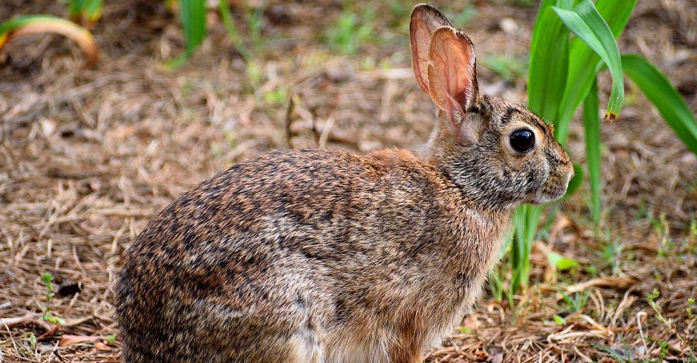 El Gobierno de Castilla-La Mancha publica la ampliación de la declaración de emergencia cinegética temporal por daños de conejo de monte