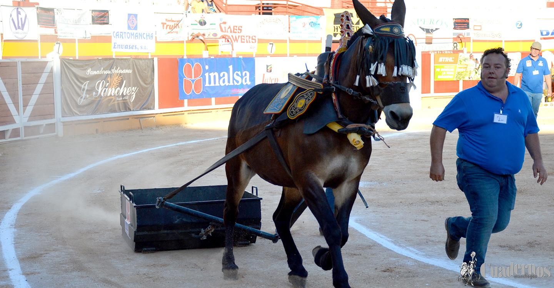 El II Concurso Nacional de Arrastre de Piedra con Mula celebrado en Tomelloso brilla en un gran espectáculo de habilidad y fuerza