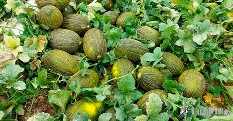 Compra-Venta de melones en Tomelloso